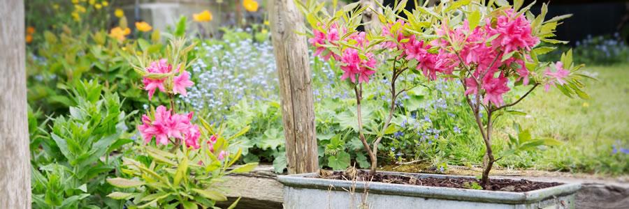 Tuinplant van de Maand maart: Azalea