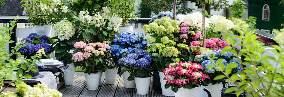 Tuinplant van de Maand juli: hortensia